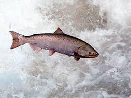 salmon jumping up stream