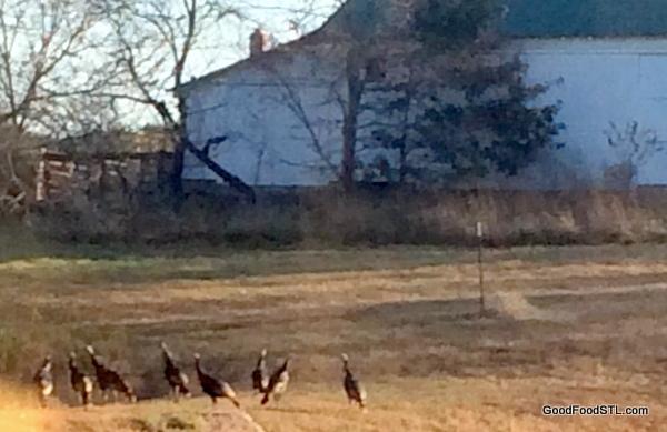 turkeys on dam
