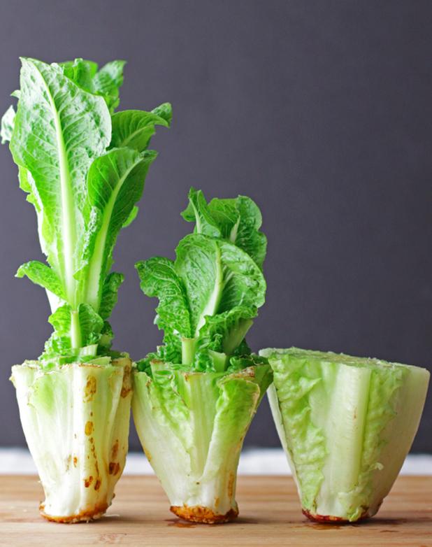 Lettuce growing in kitchen
