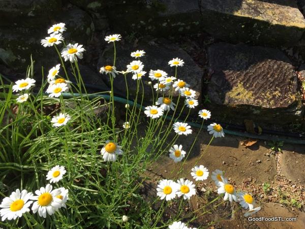 daisies farm garden