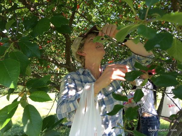 robin cherry tree