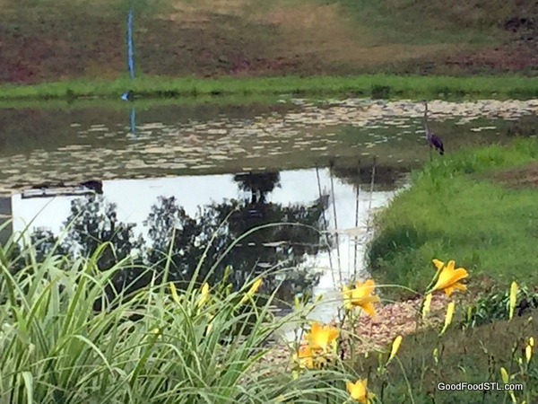 The farm pond is an attraction to local wild life.