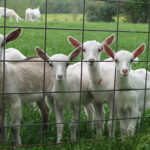 Baetje Farms Award-Winning Goat Cheese