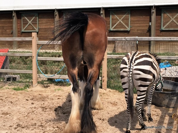 Cyldesdale and zebra