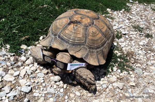 turtle with eclipse glasses