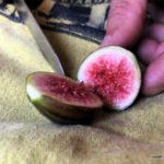 Fig Tree Growing: The Fun and Frustration