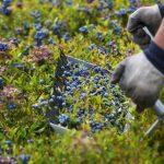 Wild Blueberry Season, a Maine Event