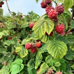 Raspberries: It's Picking Time and the Eating Is Easy