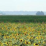 Sunflowers Brighten the Confluence